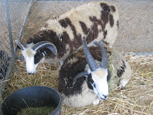 2011_10_01_Lambtown_f_Jacob-sheep