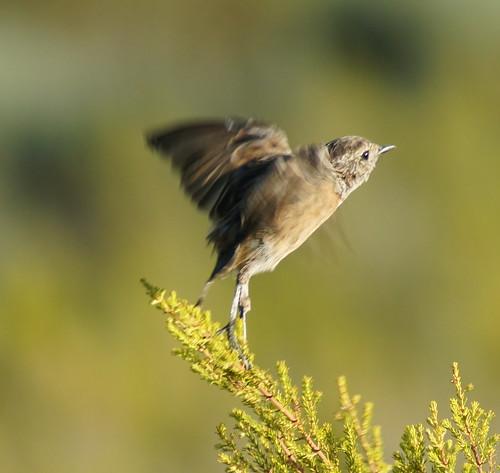 Spotted Flycatcher taking flight