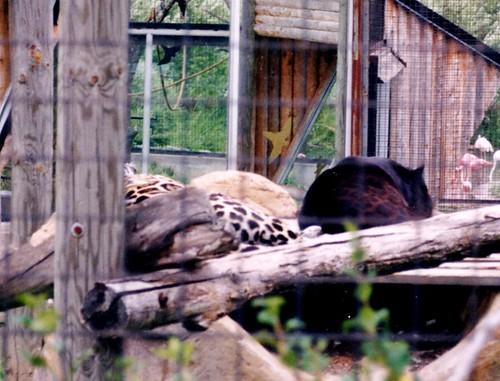 Toronto Jaguars
