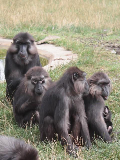 Macaques de Tonkean