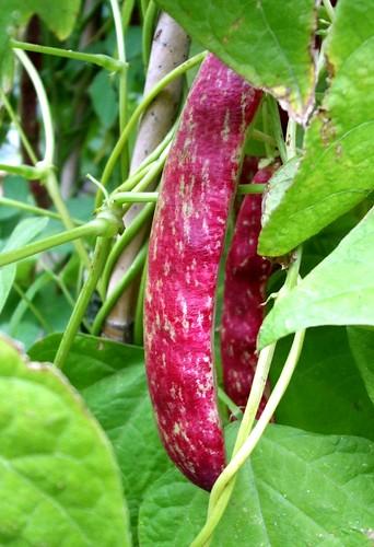 Borlotti beans - Barlotta Lingua di Fuoco