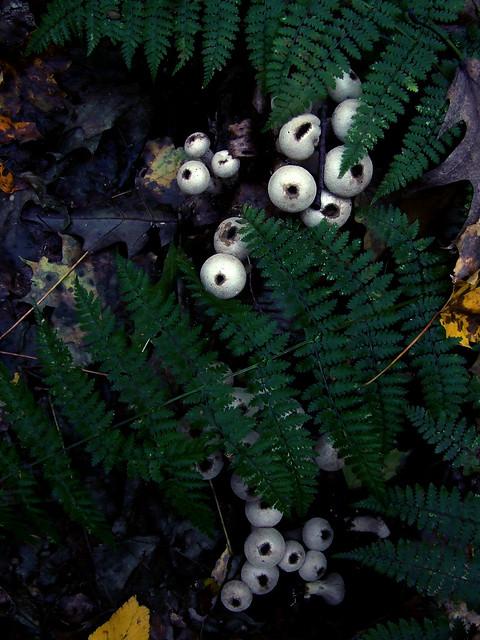 woodland puffballs