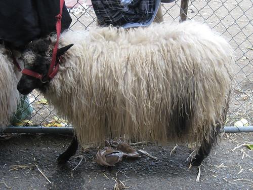 2011_10_01_Lambtown_h_Icelandic-sheep
