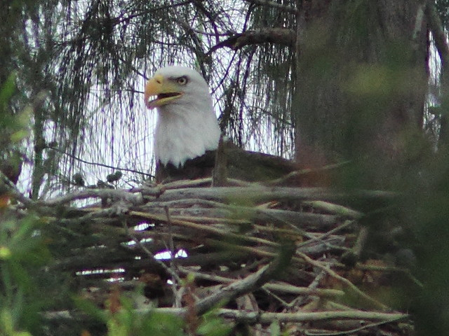 Bald Eagle on nest 2-20111016