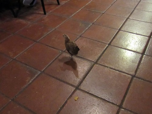 tiny chicken hanging out at the cuban restaurant