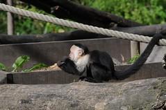Weißschulterkapuziner im Zoo d'Amiens