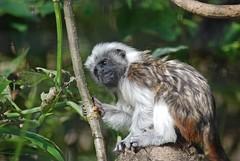 Listäffchen im Zoo d'Amiens