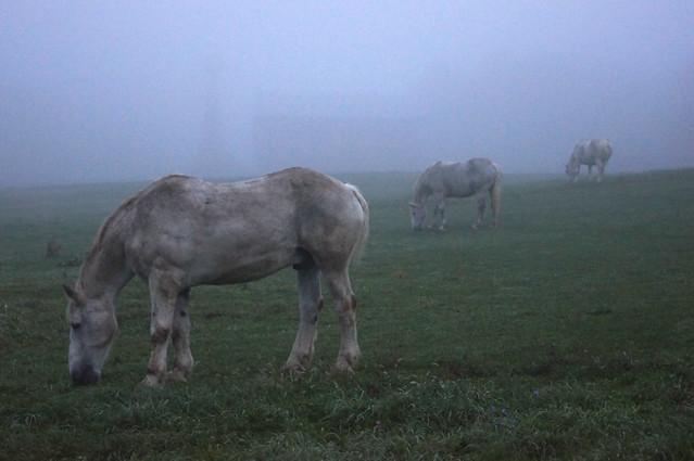 Three White Horses in the Fog