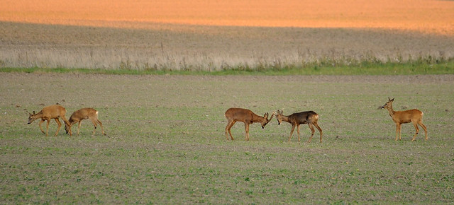 a family of roe deers