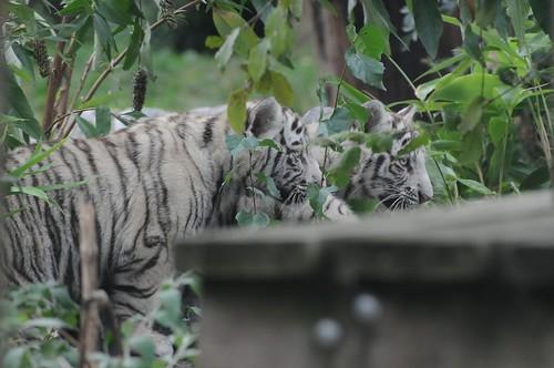 Weiße Tiger im Zoo de Maubeuge