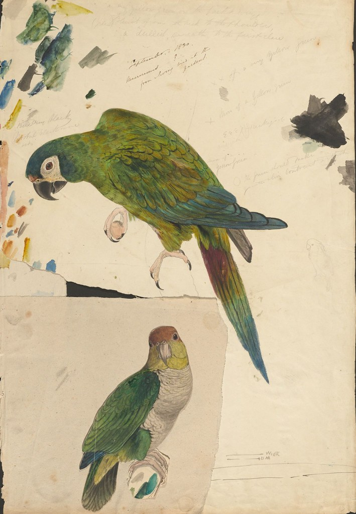 Two parrots  - ink, graphite and watercolour drawing (13)