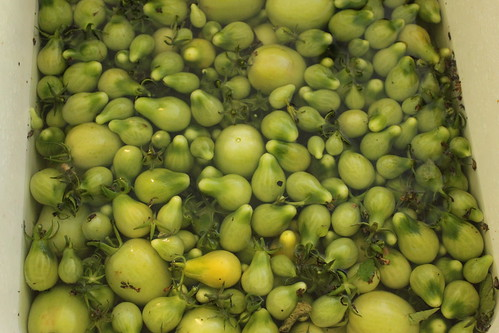 green tomatoes in the sink