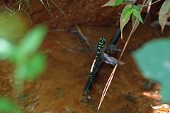 新治市民の森のオニヤンマ(Dragonfly, Niiharu Community Woods)