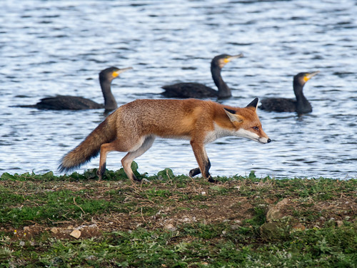 Fox and Cormorants