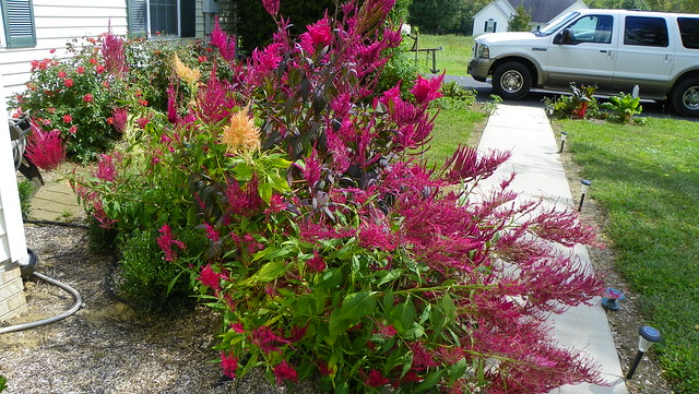 Celosia grouping