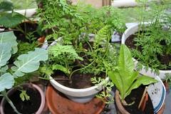 paarsewortel 19-09