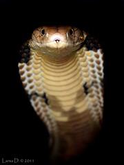 Ophiophagus hannah, king cobra
