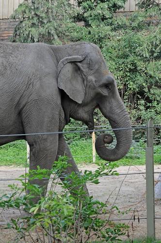 Asiatischer Elefant Praya im Zoo d'Amiens