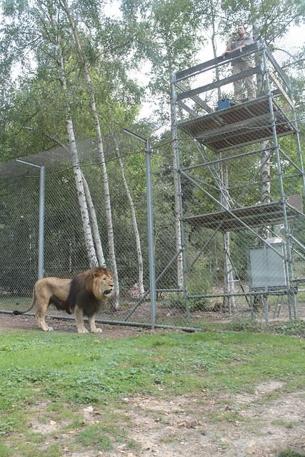 Le goûter des lions