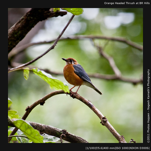 Orange Headed Thrush at BR Hills