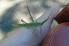 新治市民の森のチキチキバッタ(Grasshopper, Niiharu Community Woods)