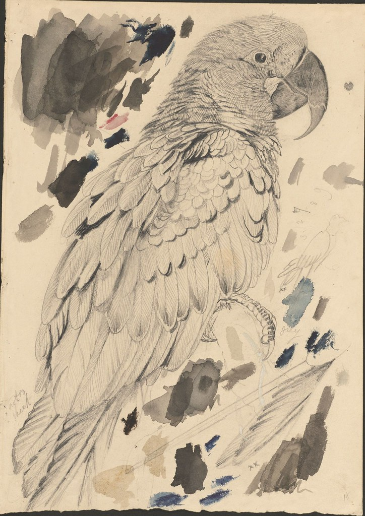 Macaw -- graphite and watercolour drawing (18)