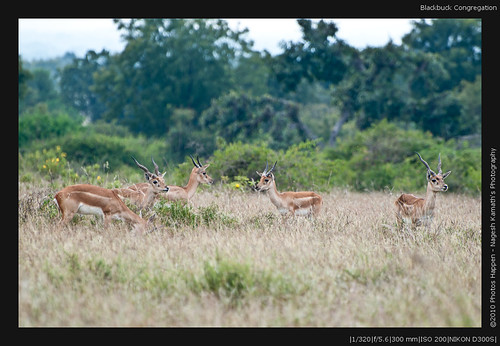 Blackbuck Congregation
