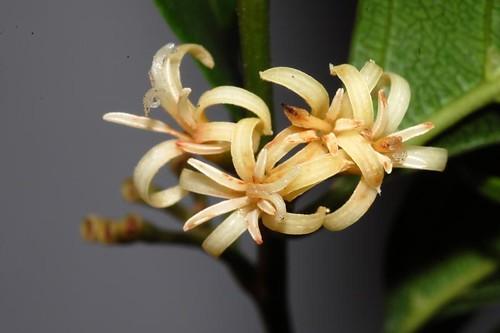 Alangium villosum subsp. polyosmoides