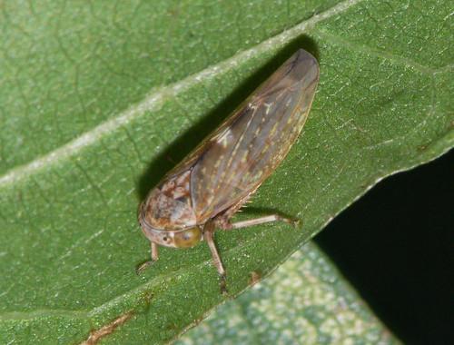 Leafhopper (prob. Acericerus heydenii, f.)