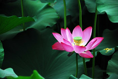 Lotus Flowers in Ritan Park