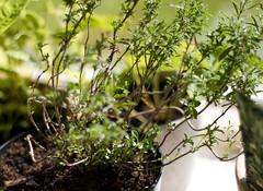Bonenkruid 30-09 gered van tuincentra