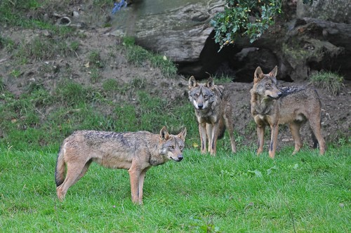 Iberische Wölfe  im Tierpark CERZA bei Lisieux in der Normandie
