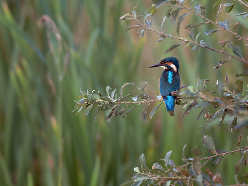 Kingfisher in Willow