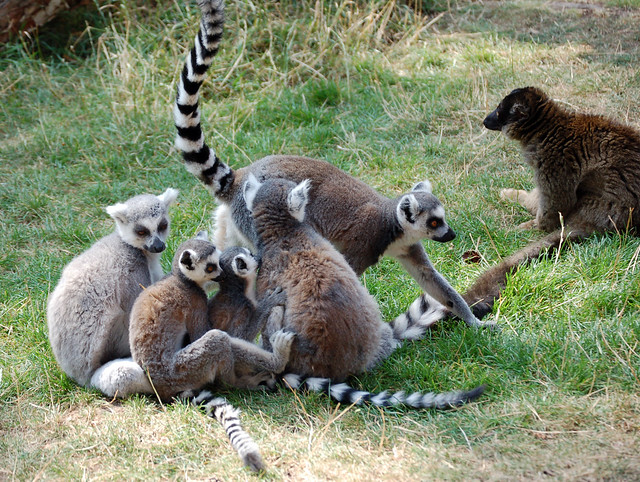 Ring tailed lemur family