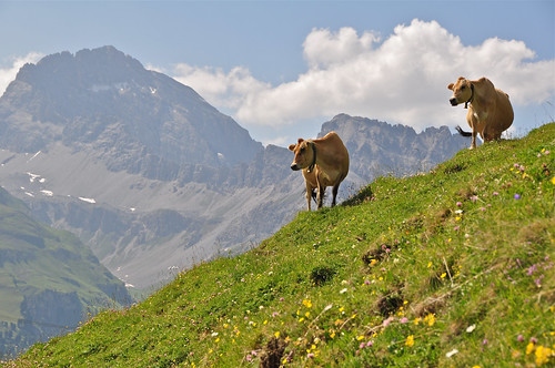 Cattle on the alp