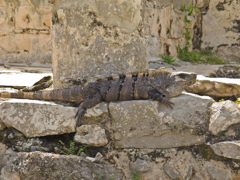 Iguana in the Tulum Ruins