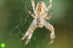 GARDEN CROSS SPIDER,