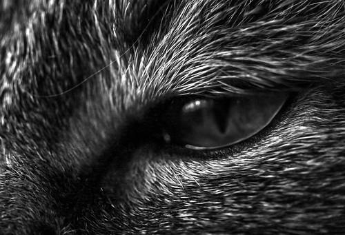 Dark Eyed Cat