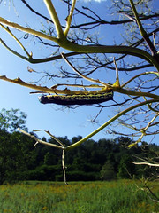 catalpa sphynx moth caterpillar