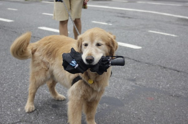 Dog with umbrella, after Hurricane Irene
