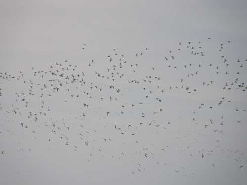 Cloud of oystercatchers