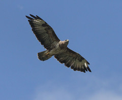 BUTEO BUTEO. BETTER KNOWN AS THE BUZZARD.