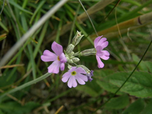 Late-flowering bird's-eye primrose