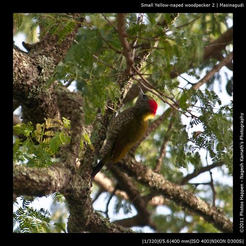 Small Yellow-naped woodpecker 2 | Masinagudi