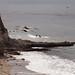 Birds off the Shell beach coast 8