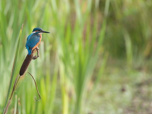 Kingfisher on Bull-Rush