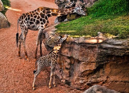 Familia de jirafas comiendo by Toni (encontrando la inspiracion :) )