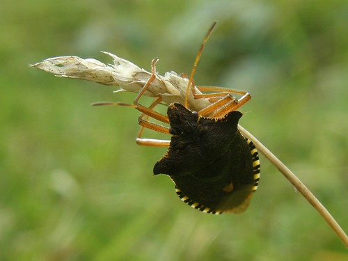 Forest bug on grass seedhead