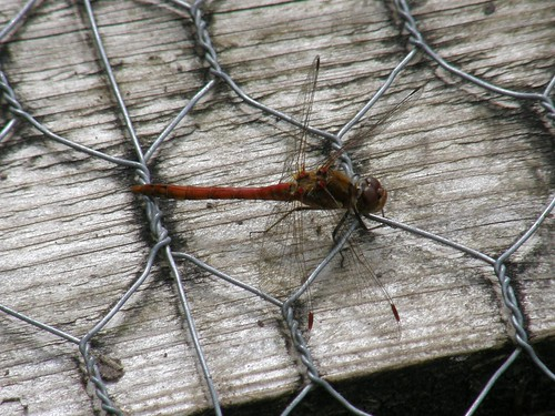 Male common darter