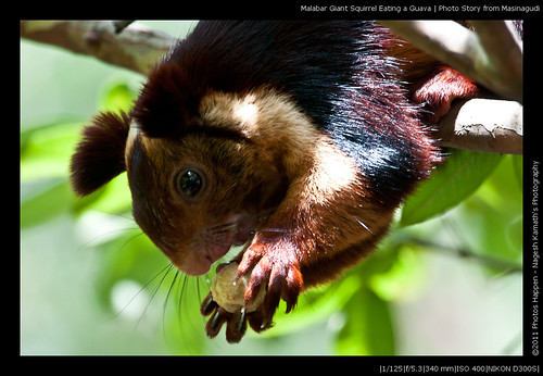 Malabar Giant Squirrel Eating a Guava | Photo Story from Masinagudi